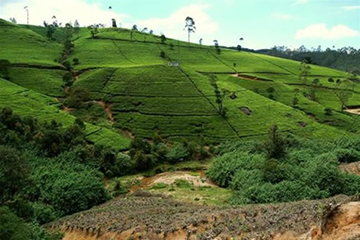 nuwara_eliya_tea_country.jpg